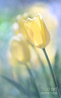 Photograph - Yellow Tulips by Juli Scalzi