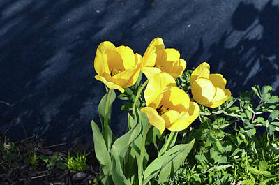 Photograph - Yellow Tulips by Kathleen Stephens