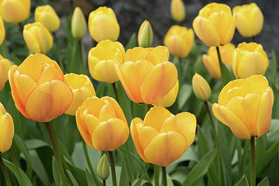 Photograph - Yellow Tulips by Keith Boone