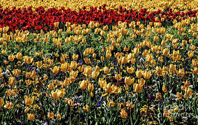 Photograph - Yellow Tulips by Mae Wertz