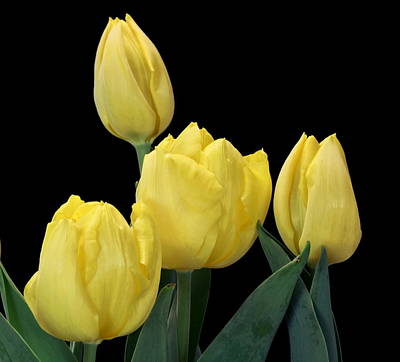 Photograph - Yellow Tulips On Black by Sheila Brown
