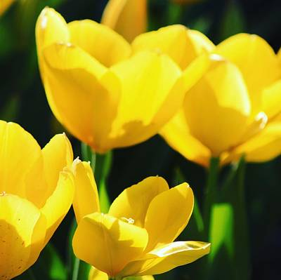 Photograph - Yellow Tulips by Sarah Vandenbusch