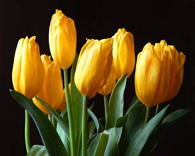 Photograph - Yellow Tulips by Timothy Bulone