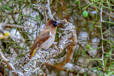 Photograph - Yellow-vented Bulbul by Marilyn Burton