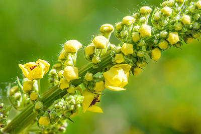 Yellow Verbascum Thapsus Print by Alain De Maximy