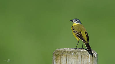Photograph - Yellow Wagtail Perching On The Roundpole by Torbjorn Swenelius
