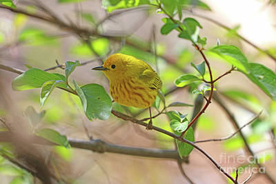 Photograph - Yellow Warbler 0576 by Jack Schultz
