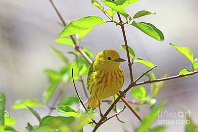 Photograph - Yellow Warbler 0578 by Jack Schultz