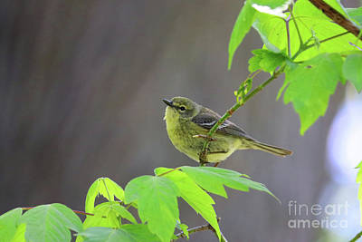 Photograph - Yellow Warbler 0634 by Jack Schultz