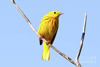 Photograph - Yellow Warbler #1 by Marle Nopardi