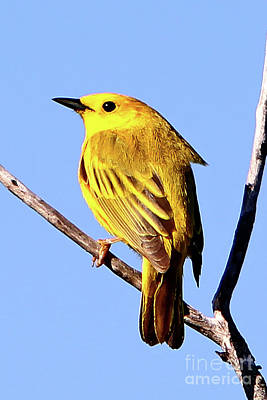 Yellow Warbler #2 Art Print by Marle Nopardi