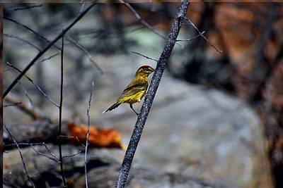 Photograph - Yellow Warbler 2 by Nina Kindred