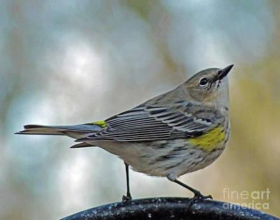 Photograph - Yellow Rumped Warbler 7 by Lizi Beard-Ward