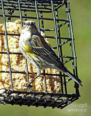 Photograph - Yellow Rumped  Warbler 8 by Lizi Beard-Ward