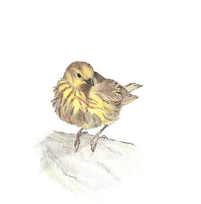 The Maine Drawing - Yellow Warbler by Abby McBride