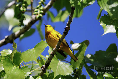 Photograph - Yellow Warbler by Alyce Taylor