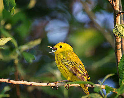 Warbler Photograph - Yellow Warbler Calling by Bill Wakeley