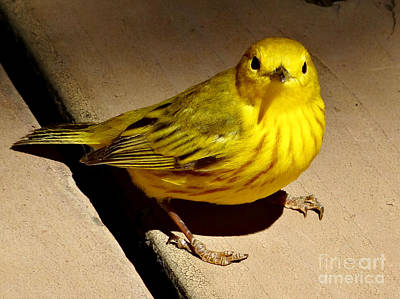 Photograph - Yellow Warbler by Christopher Plummer