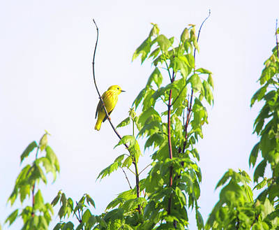Photograph - Yellow Warbler by Dan Sproul