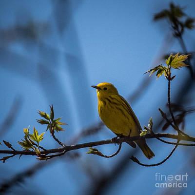 Car Photos Douglas Pittman - Yellow Warbler by Grace Grogan