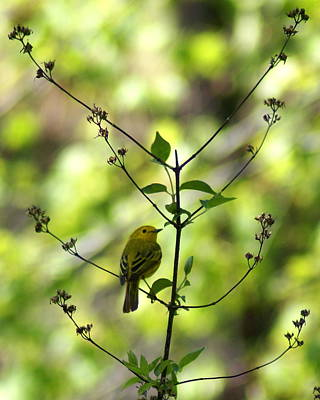Photograph - Yellow Warbler In A Tree 2 by Ben Upham III