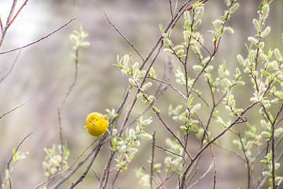 Nikki Vig Royalty-Free and Rights-Managed Images - Yellow Warbler in Budding Tree by Nikki Vig