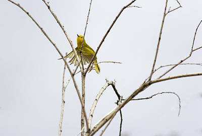 Photograph - Yellow Warbler In Flight by Dana Moyer