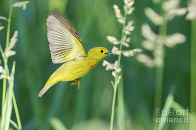 Photograph - Yellow Warbler In Flight by Mircea Costina Photography