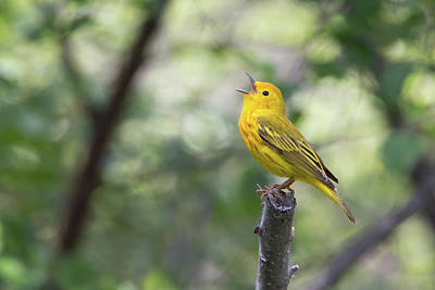 Photograph - Yellow Warbler In Song by Celine Pollard