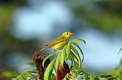 Photograph - Yellow Warbler In Sumac by Debbie Oppermann