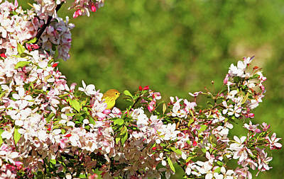 Photograph - Yellow Warbler In The Blossoms by Debbie Oppermann