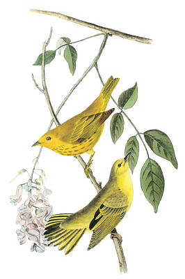 Warbler Painting - Yellow Warbler by John James Audubon
