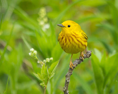 Photograph - Yellow Warbler by Kimberly Kotzian