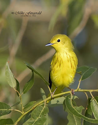 Photograph - Yellow Warbler by Mike Fitzgerald