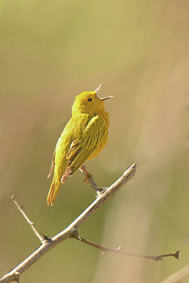 Photograph - Yellow Warbler Song by Alan Lenk