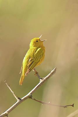 Yellow Warbler Song Original
