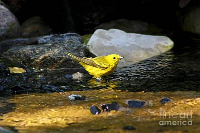 Yellow Warbler Photograph - Yellow Warbler by Teresa Zieba