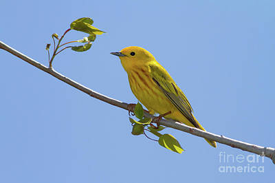 Yellow Warbler Photograph - Yellow Warbler by Todd Bielby