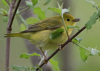 Photograph - Yellow Warbler by Wade Aiken