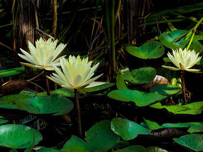 Photograph - Yellow Water Lilies by Paula Ponath