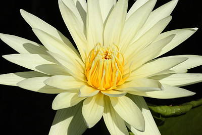 Photograph - Yellow Water Lily 2 by Lou Ford