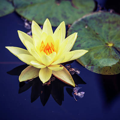 Photograph - Yellow Water Lily In A Pond by Vishwanath Bhat