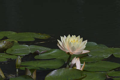Photograph - Yellow Water Lily by Linda Geiger