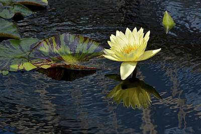 Photograph - Yellow Waterlily And Ripples by Tana Reiff