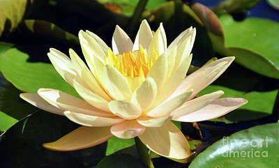 Photograph - Yellow Waterlily by Elaine Manley
