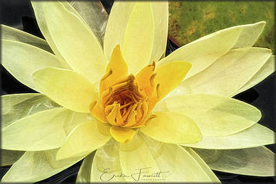 Photograph - Yellow Waterlily by Erika Fawcett