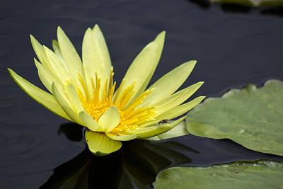 Yellow Waterlily Original
