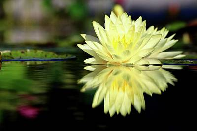Photograph - Yellow Waterlily Reflection by Carol Montoya