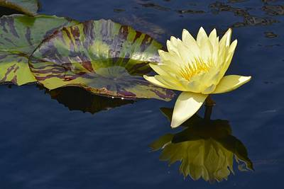 Photograph - Yellow Waterlily by Tana Reiff