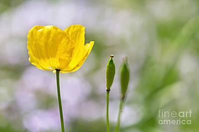 Yellow Welsh Poppy - Natalie Kinnear Photography Art Print